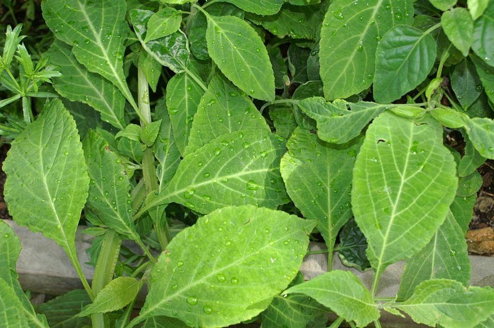 Salvia Divinorum: все, чего вы боялись спросить